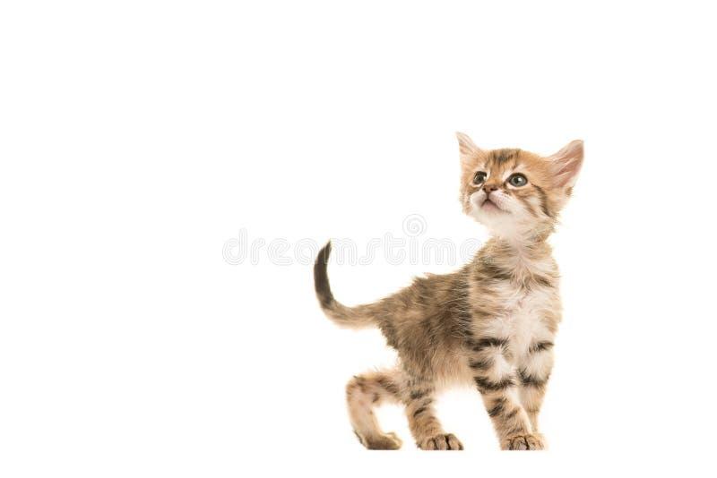 Gato turco do bebê do angora do gato malhado bonito que anda e que olha acima fotos de stock