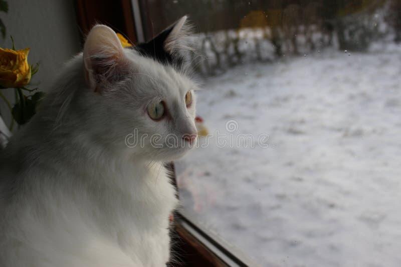 Gato - turco Van, angora de la raza fotos de archivo