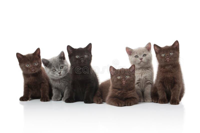 Gato Varios pequeños gatitos británicos en el fondo blanco imagenes de archivo