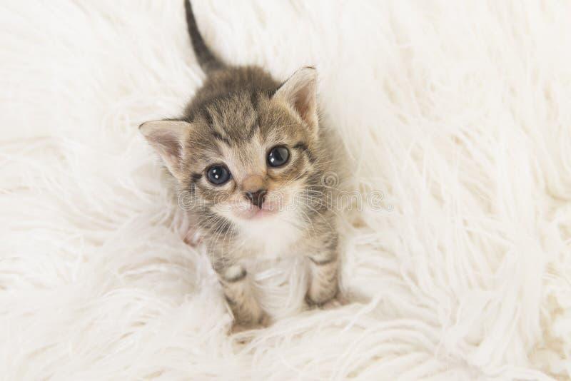 Gato velho do bebê do gato malhado de três semanas que olha acima o assento em uma pele branca vista de uma opinião de ângulo alt imagem de stock