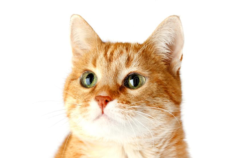 Gato vermelho adulto isolado no fundo branco, focinho do ` s do gato imagens de stock royalty free