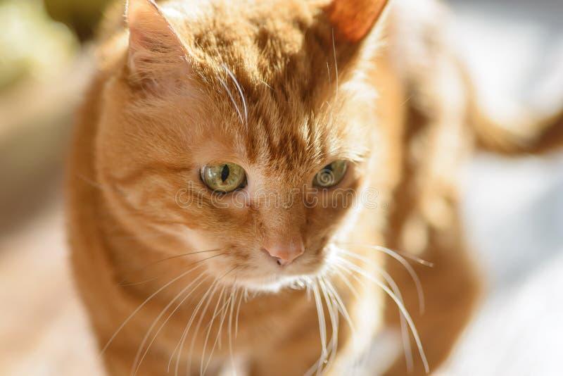 Gato vermelho bonito fotografia de stock royalty free