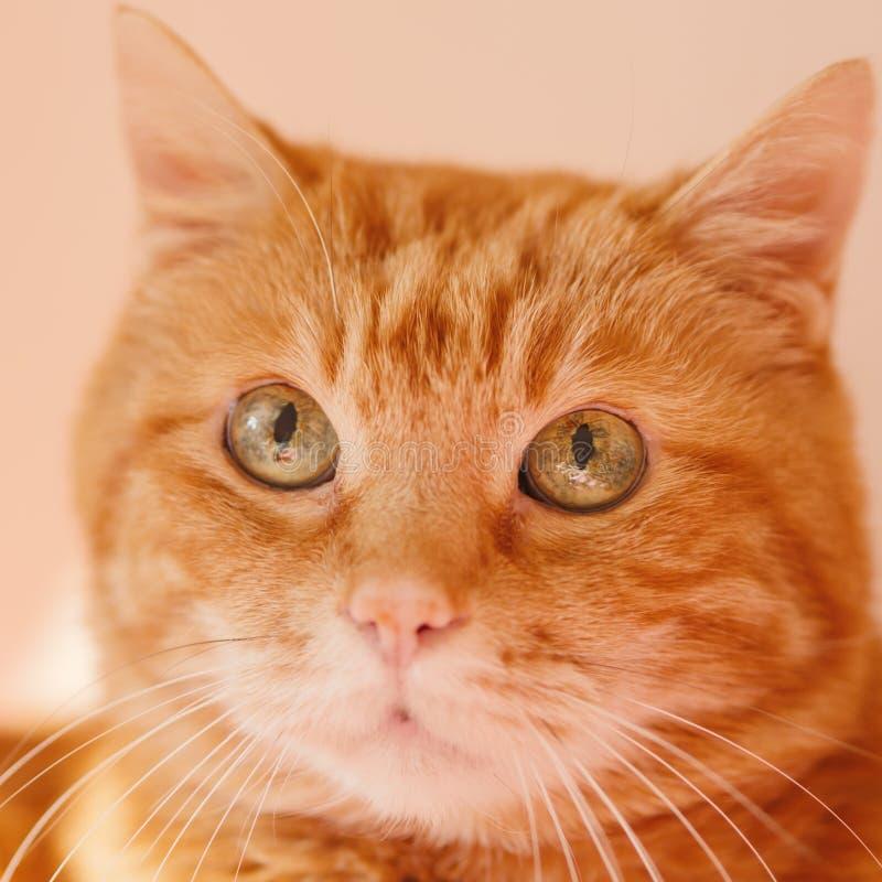 Gato vermelho bonito imagem de stock