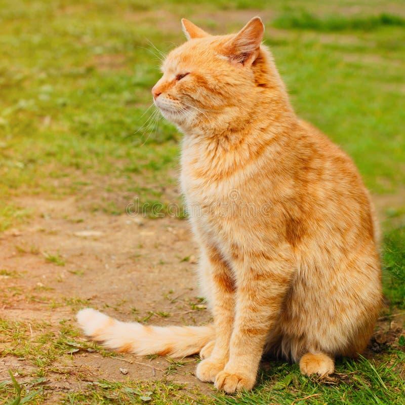 Gato vermelho bonito na grama verde no verão imagem de stock