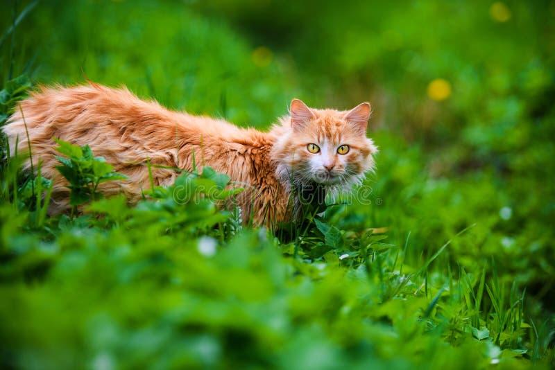 Gato vermelho bonito na grama verde ?rvore no campo imagens de stock
