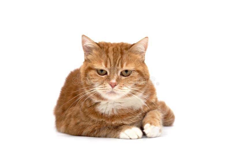 Gato vermelho com olhos alaranjados fotografia de stock