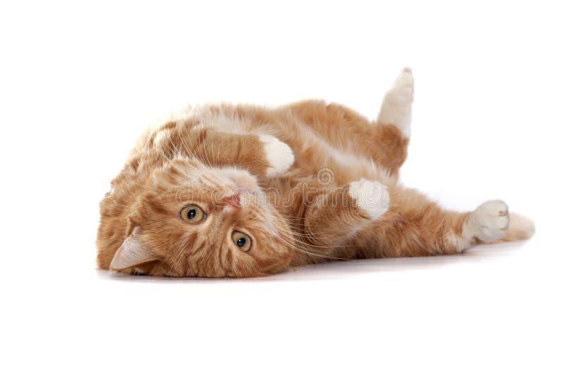 Gato vermelho com olhos alaranjados fotos de stock