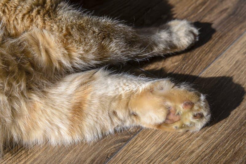 Gato vermelho com uma pata má imagem de stock royalty free