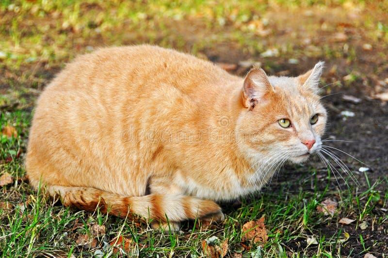 Gato vermelho, cor da areia imagens de stock