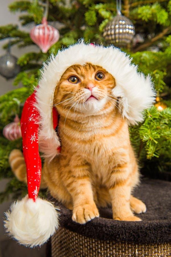 Gato vermelho da dobra escocesa bonita no chapéu de Santa perto da árvore de Natal imagem de stock royalty free