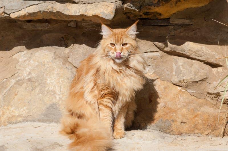 Gato vermelho de Maine Coon em rochas imagem de stock