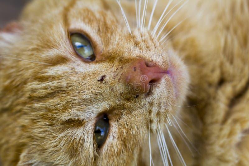 gato Vermelho-dirigido imagem de stock royalty free