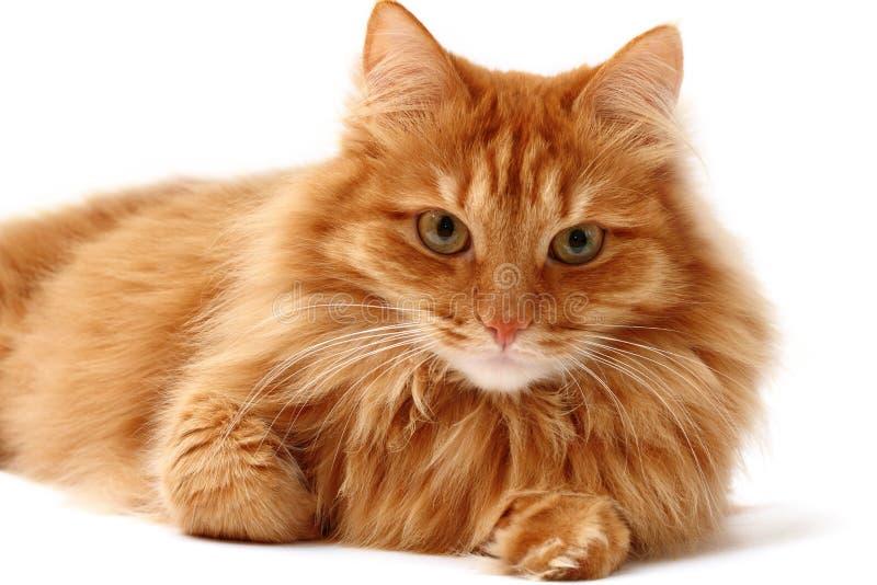 Gato vermelho disparado em um fundo branco imagem de stock