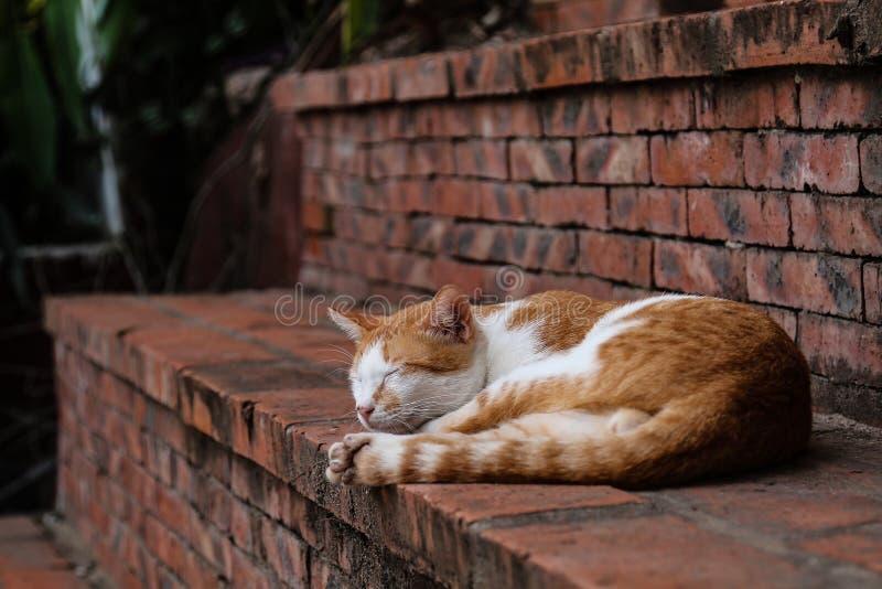 Gato vermelho do sono foto de stock