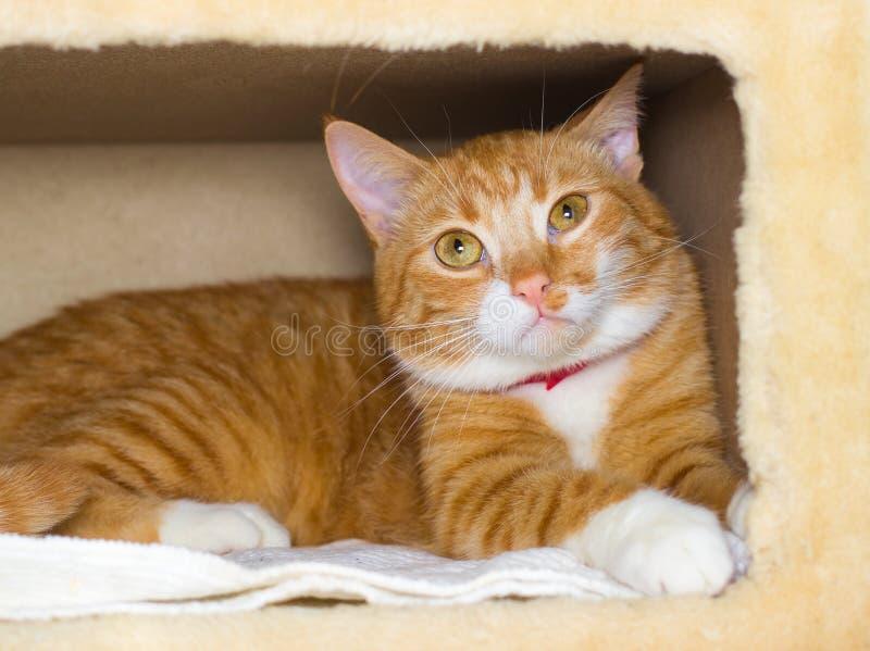 Gato vermelho doméstico bonito em uma casa foto de stock royalty free