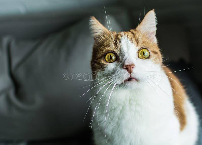 Gato vermelho e branco com expressão engraçada fotos de stock royalty free