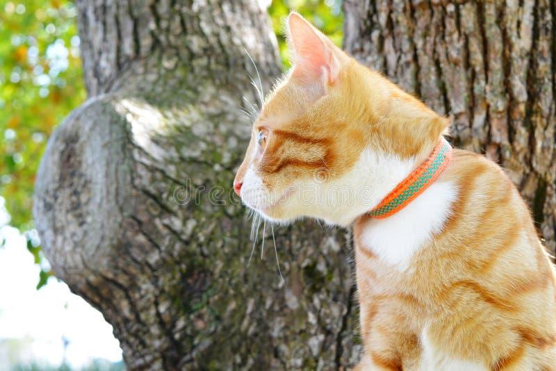 Gato vermelho em uma trela em um fundo de madeira imagens de stock