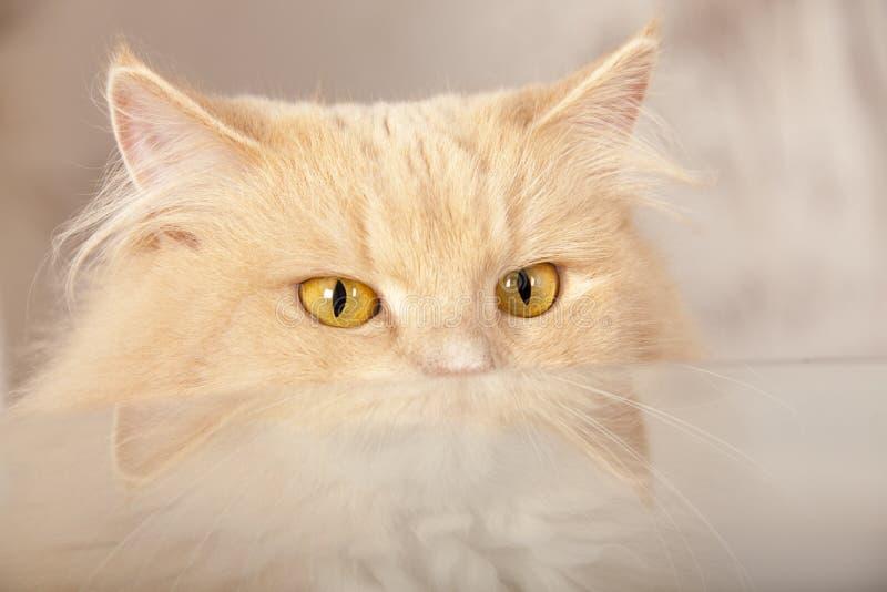 Gato vermelho engraçado imagem de stock royalty free