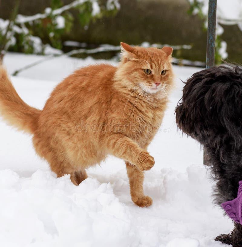 Gato vermelho grande que joga com um cão preto na neve foto de stock royalty free