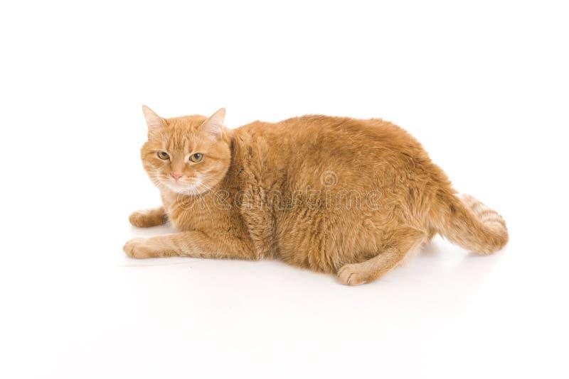Gato vermelho isolado em um branco fotografia de stock