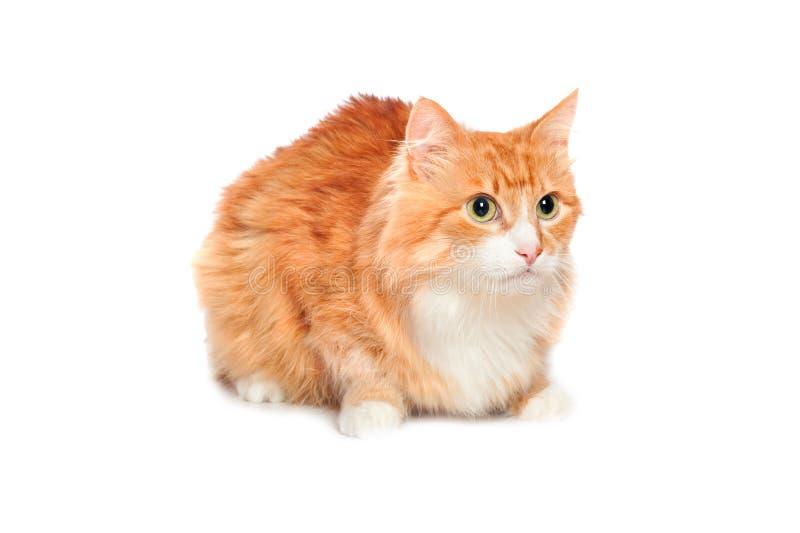 Gato vermelho macio encantador. Isolado foto de stock