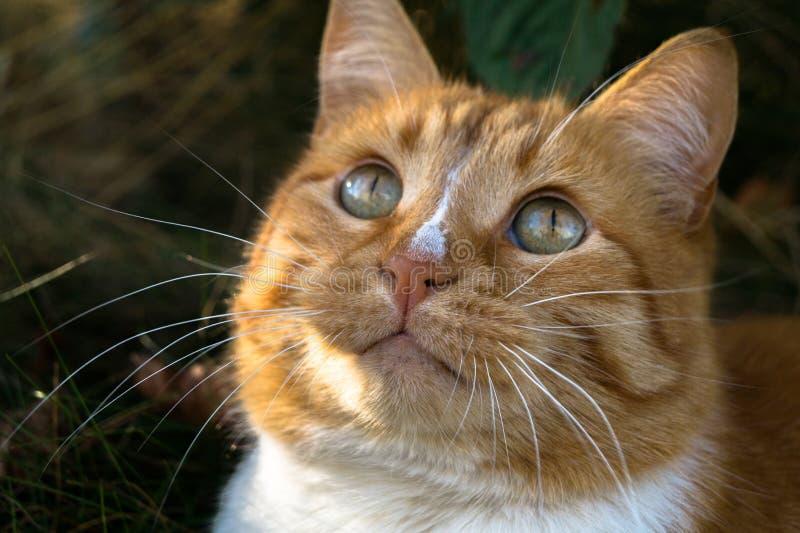 Gato vermelho macio que olha acima e que pensa sobre algo foto de stock royalty free