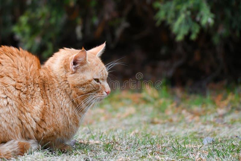 Gato vermelho na rua que toma sol no sol fotos de stock