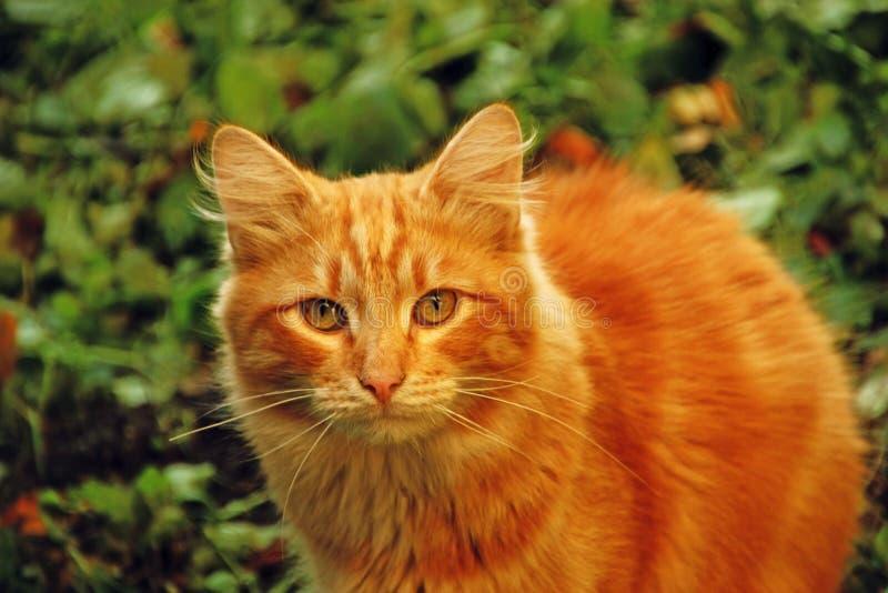 Gato vermelho no gramado fotografia de stock royalty free