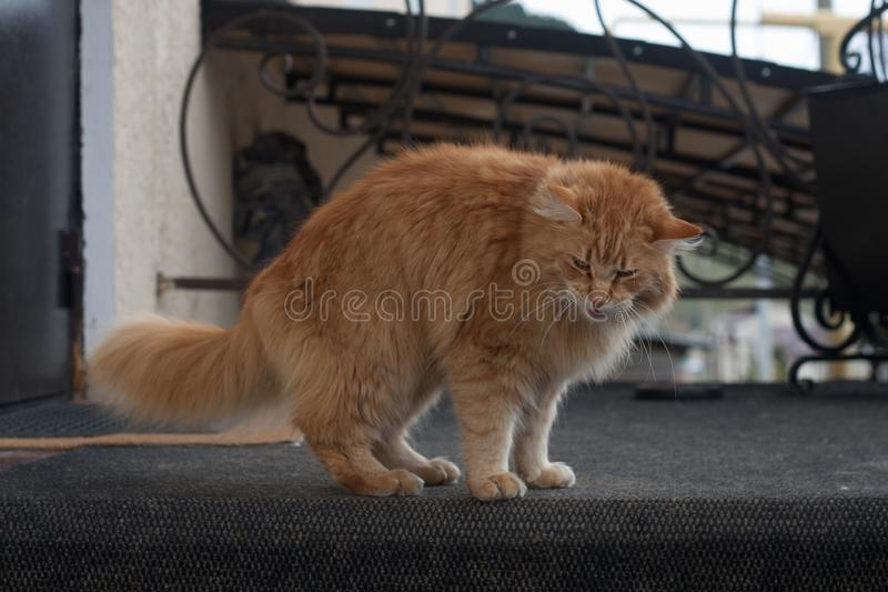 Gato vermelho imagens de stock