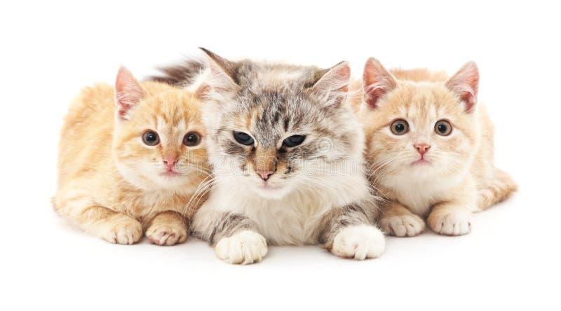 Gato y dos gatitos fotografía de archivo libre de regalías