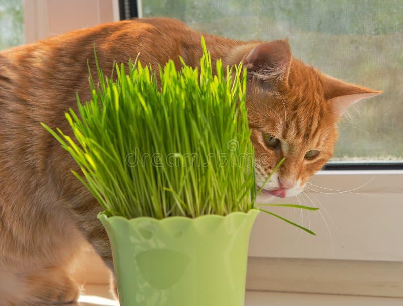 Gato y florero del catnip fresco fotos de archivo