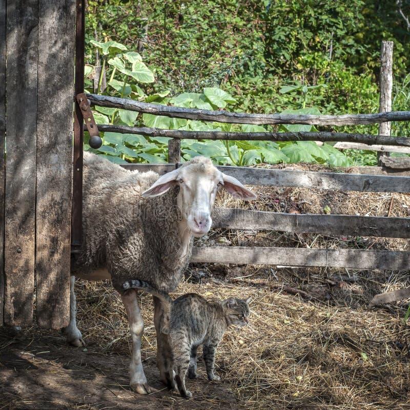 Download Gato y ovejas imagen de archivo. Imagen de amigos, ovejas - 100525991