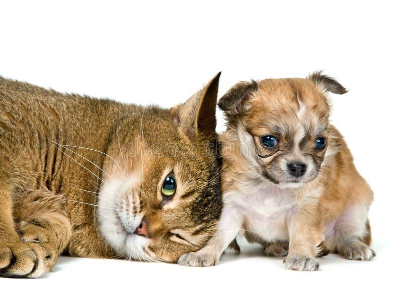 Gato y perrito de la chihuahua foto de archivo libre de regalías