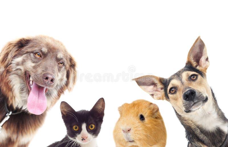 Gato y un perro y un conejillo de Indias fotos de archivo