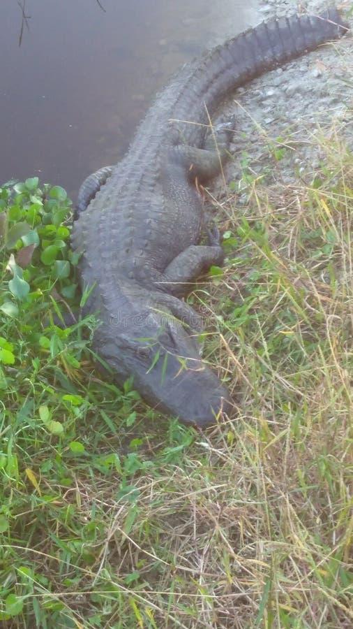 gator στοκ εικόνα με δικαίωμα ελεύθερης χρήσης