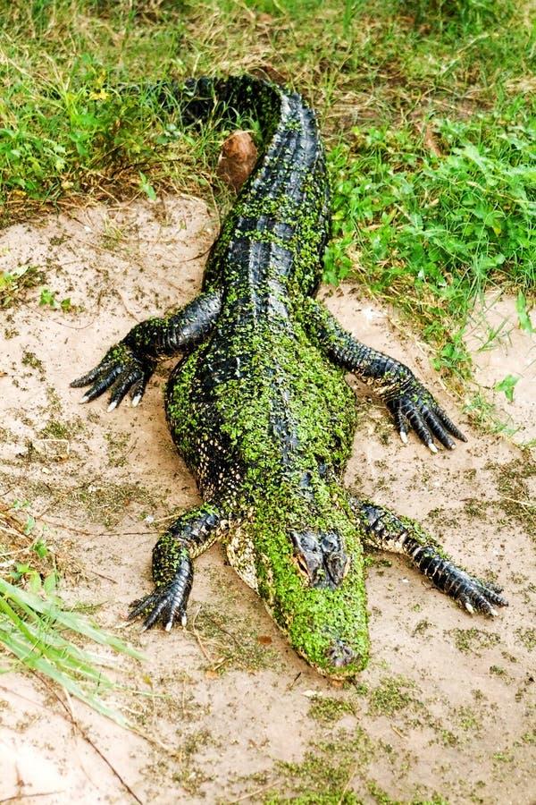 Gator auf Land stockbild