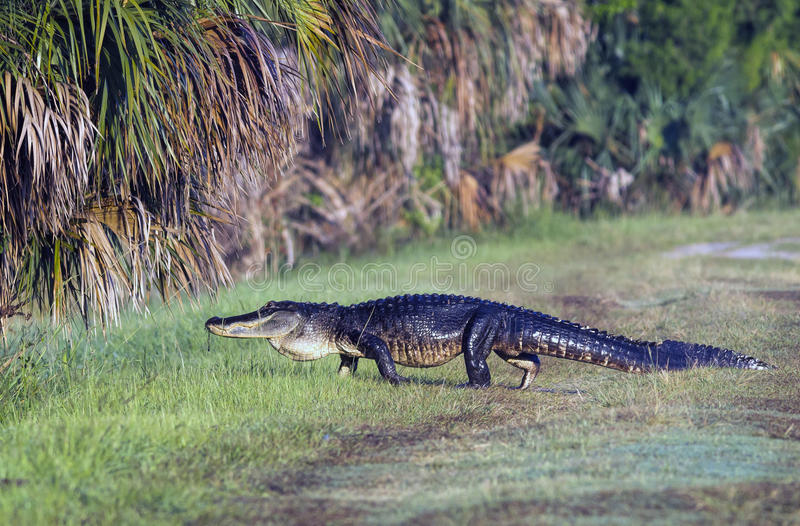 Gator crossing. A large alligator crosses a grassy path in Lake Woodruff park in Deland, Florida stock photos