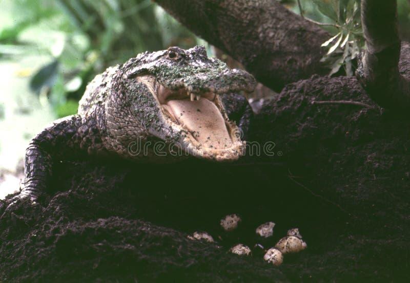 Gator et oeufs photos stock