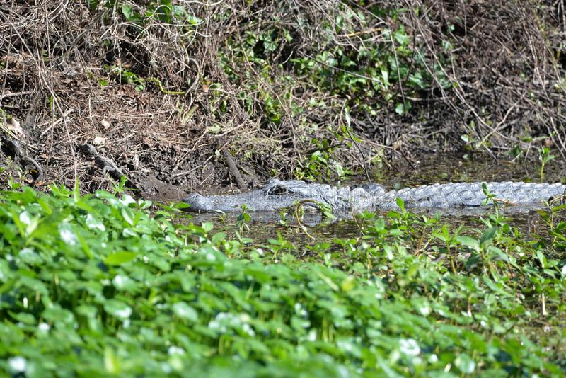 The gator gets up close and personal with her young while in the marsh waterway. The Alligator suns itself on the marsh bank while its babies play all around her royalty free stock photos