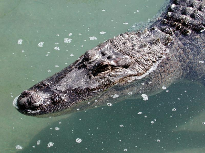 Gator Head Stock Photo