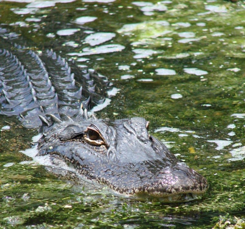 Free Gator Hiding Stock Photo - 2870400
