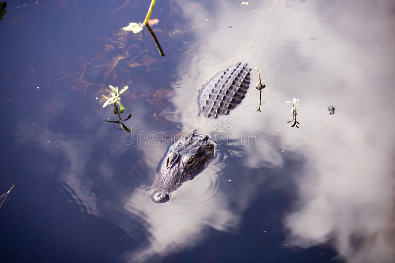 Download Gator Partially Submerged, Clouds. Stock Image - Image of reflection, contrast: 467463
