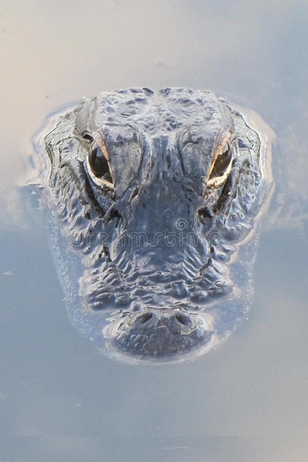Free Gator Rising Out Of Reflected Clouds Royalty Free Stock Photography - 106845207
