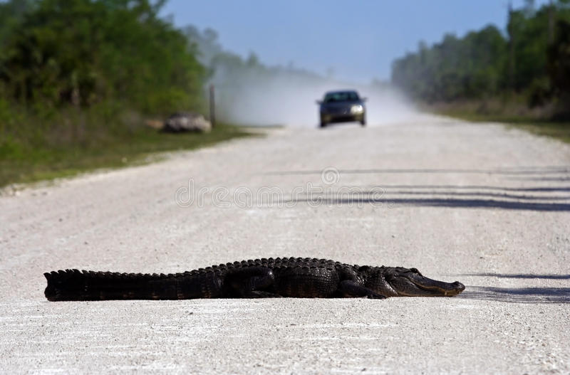 Gator Roadblock. In Big Cypress National Preserve, Florida Everglades royalty free stock photo