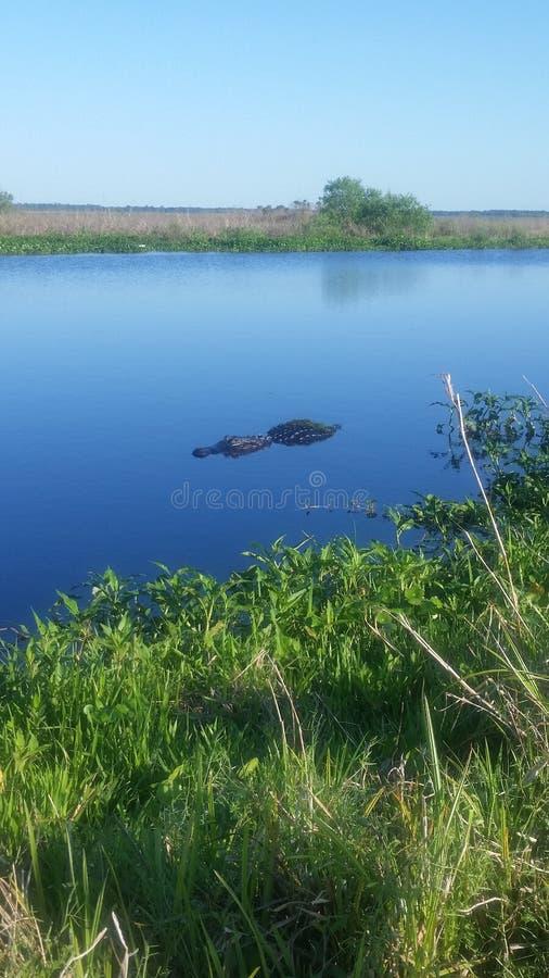 Gator. Swimming gator at the Prairie royalty free stock image