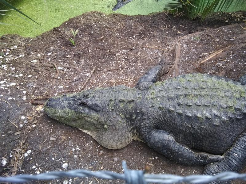 Gator. Taking a nap royalty free stock photo