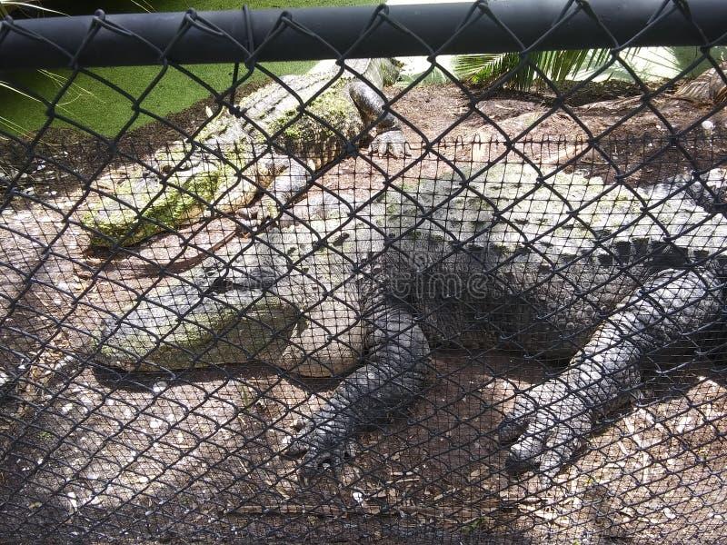 Gator. Taking a nap stock photo