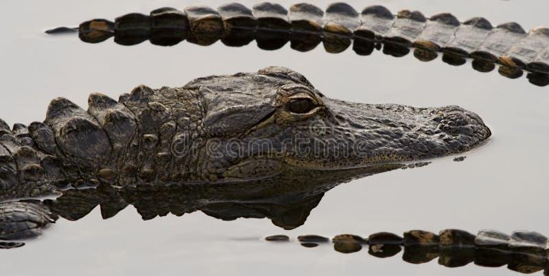 Gators imagem de stock royalty free