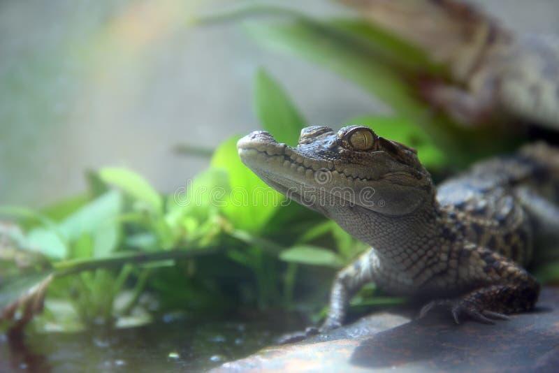 gators 免版税库存图片
