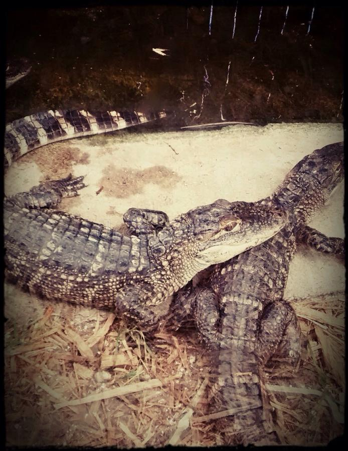gators стоковые изображения